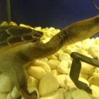 змеиношейная черепаха зибенрока